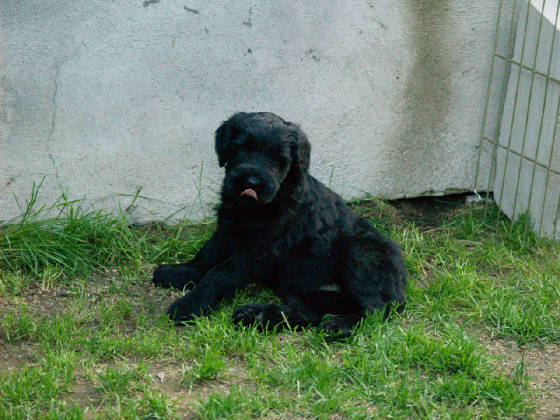 GIANT_SCHNAUZER_1ST_DAY_OUT_0011.JPG
