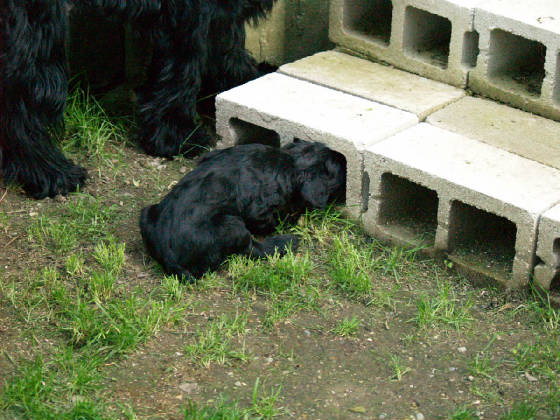 GIANT_SCHNAUZER_1ST_DAY_OUT_0014.JPG