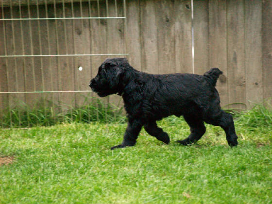 GIANT_SCHNAUZER_1ST_DAY_OUT_007.JPG