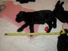Giant_Schnauzer_Puppy_21_Inches_Long.JPG