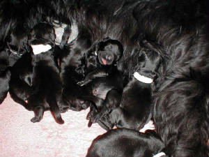 Giant_schnauzer_puppies_big_full_belly.jpg