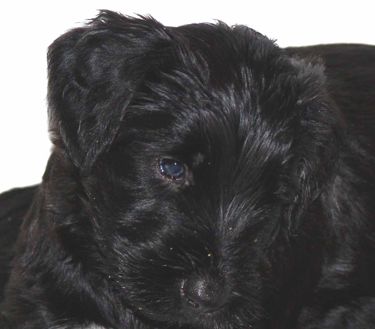 Giant_Schnauzer_Male_5-Weeks.JPG